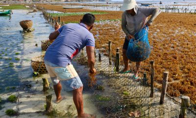 Seaweed tides over Bali islanders after tourism slump